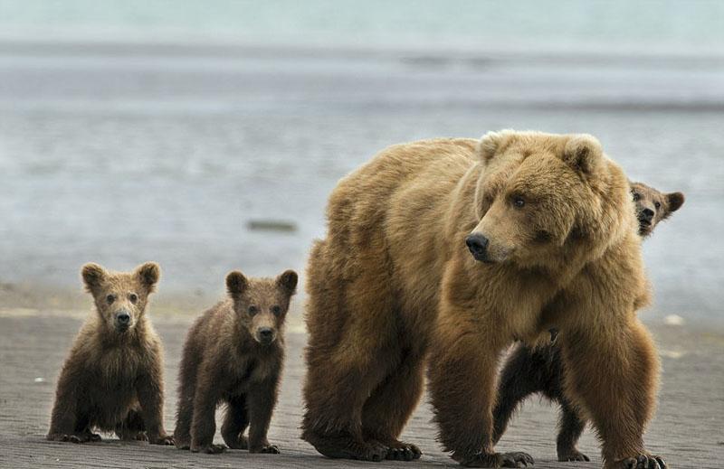 全家总动员!美棕熊带三胞胎幼崽公园一日游