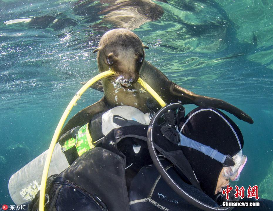 摄影师潜水遭顽皮小海豹捣乱扯咬氧气管
